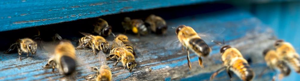 Les abeilles : protégeons-les ensemble
